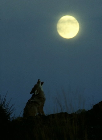 Upon the end, he howled like a true prairie wolf.